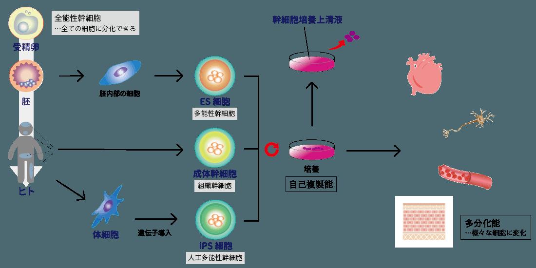 幹細胞治療の効果や費用   渋谷・東京の美容整形なら【ベル美容外科 ...