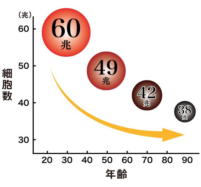 年齢毎の細胞数